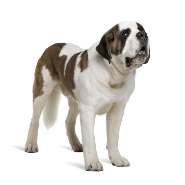 perros de raza perezosa