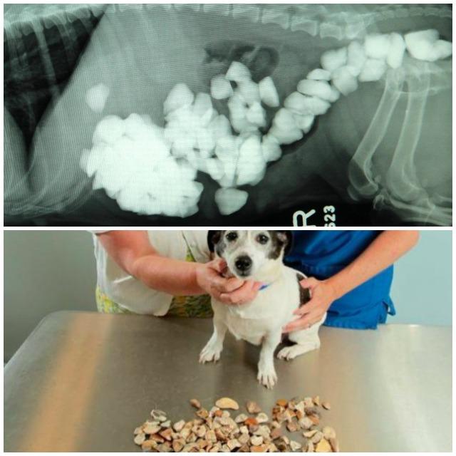 perros que comen piedras