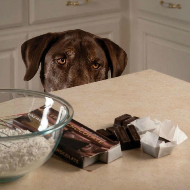 no des chocolate a tu perro nunca