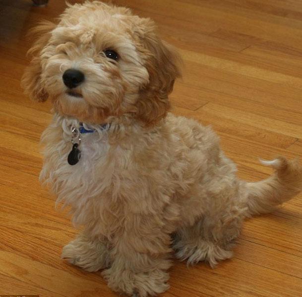cava poo chon nueva raza de perro