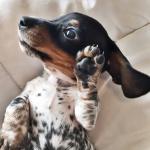 perro zurdo o diestro