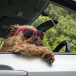 por qué perros sacan cabeza por ventanilla de coche