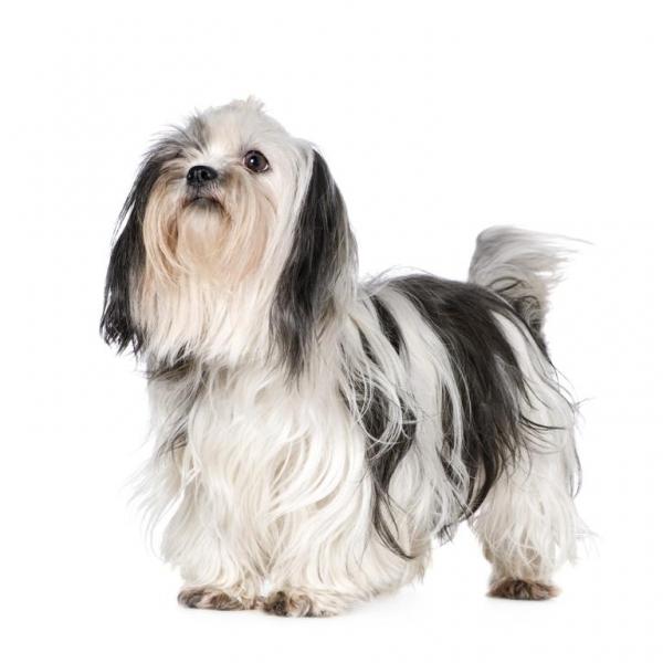 razas de perros para un piso