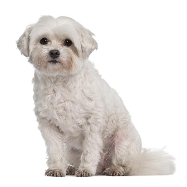 razas de perro para apartamentos