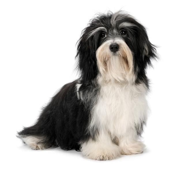 razas de perro perezosas