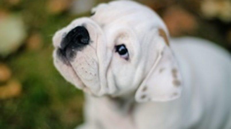 cómo se comunica un cachorro