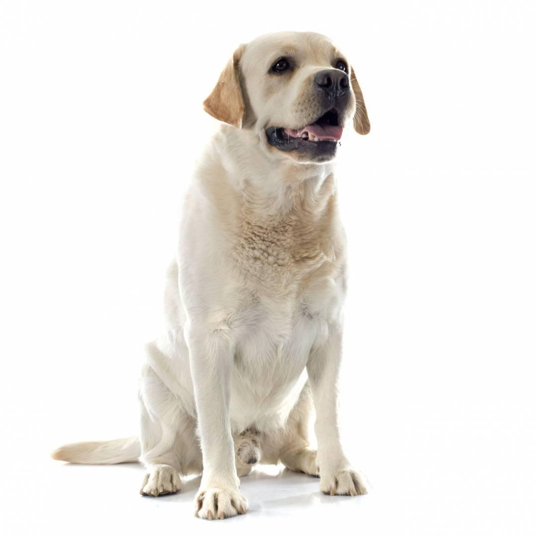 perros con mejor olfato