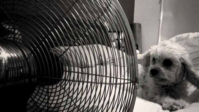 golpe calor en perros