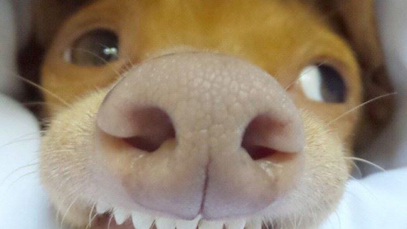 nariz seca en el perro