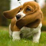 limpiar las orejas del cachorro