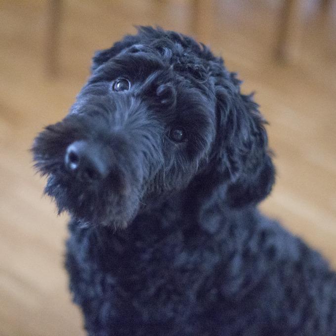 pancreatitis en perros