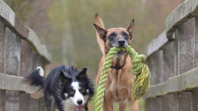 perros necesitan jugar