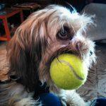 no juegues con tu perro con pelotas de tenis