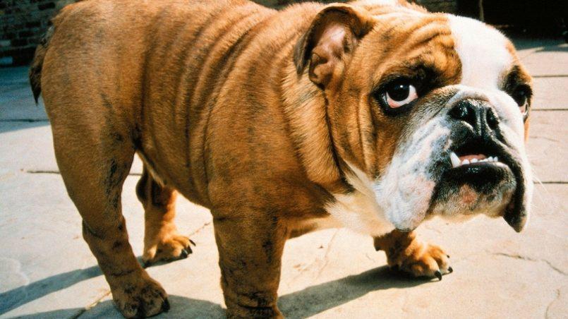 razas de perros braquicéfalas