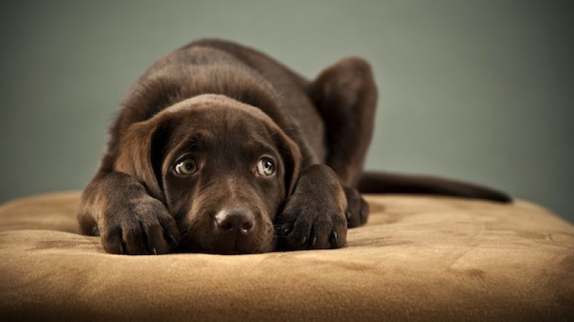 perro con miedo a petardos