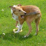 perro persigue cola