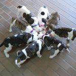perros voraces