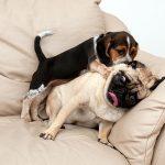 conducta de monta en perros