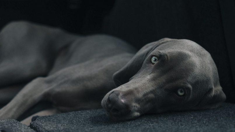 epilepsia en perros