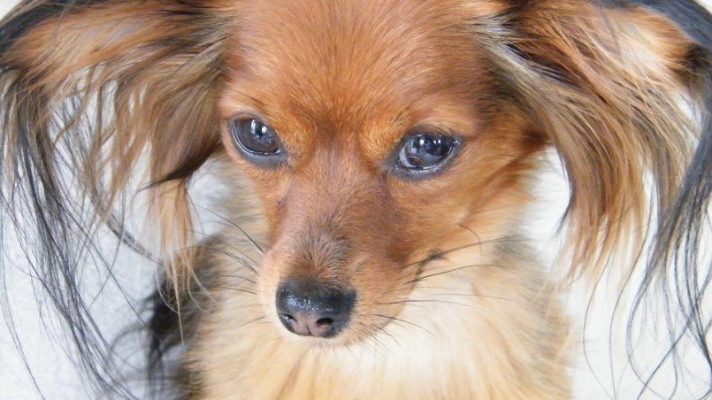 razas de perros de compañía