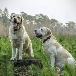 cruzar a un perro