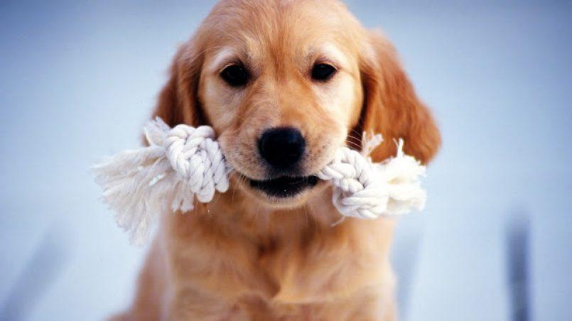 enseñar a un cachorro a buscar y traer objetos