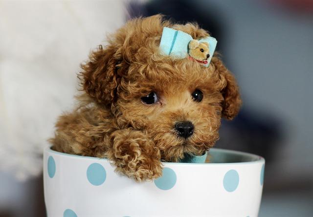 perros toy y perros tacita de té