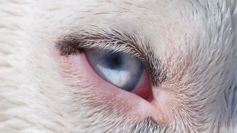perros con ojos azules