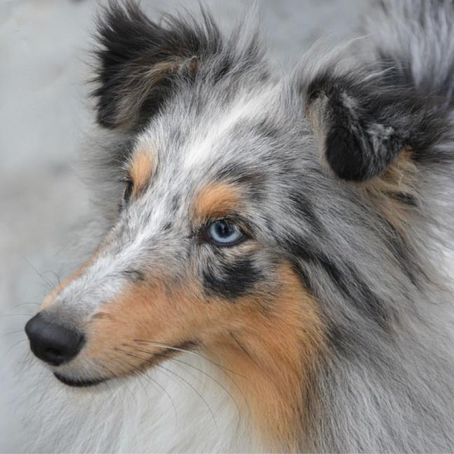 perros con los ojos azules