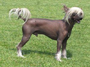 razas de perro sin pelo