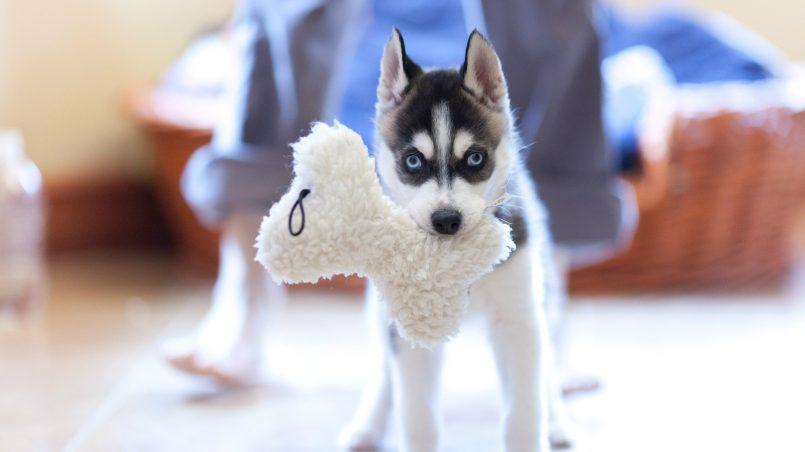 perros quieren juguetes nuevos