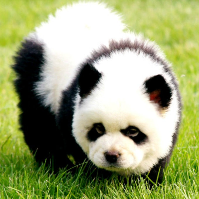 perros panda