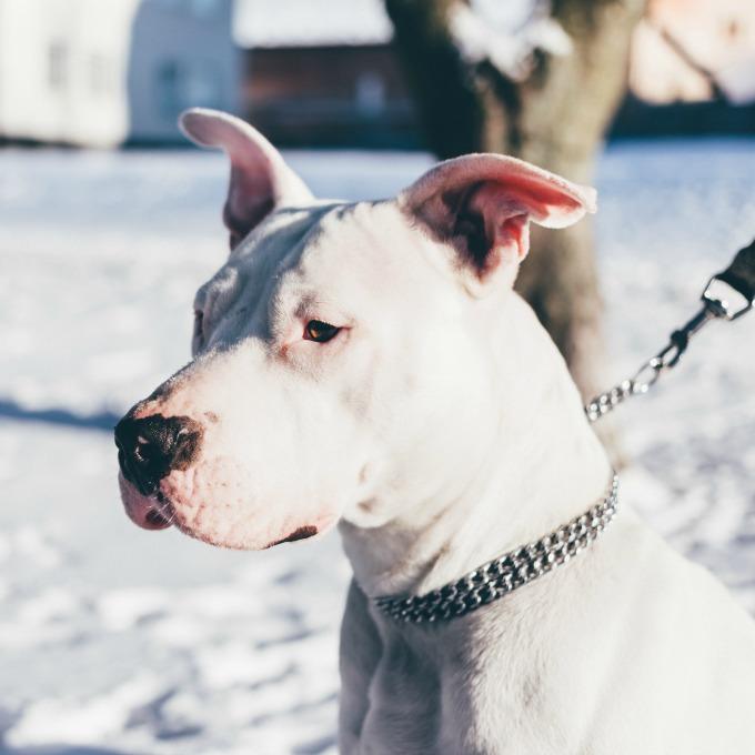 operaciones de corte de orejas y cola en perros