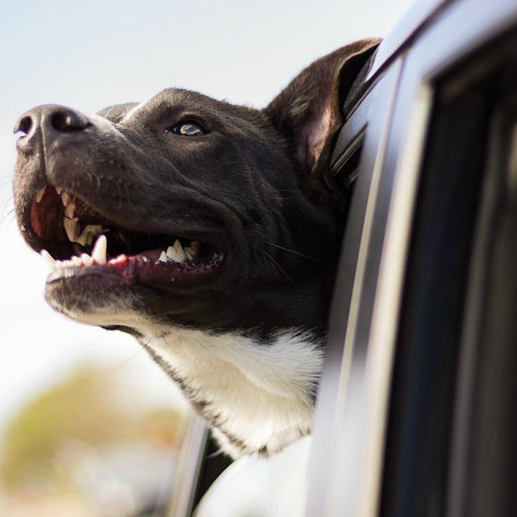 perro dentro de un coche al sol
